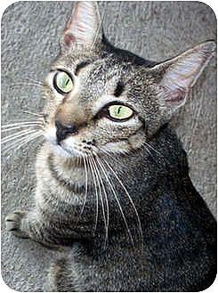 Domestic Shorthair Cat for adoption in Thibodaux, Louisiana - Sheena FE1-7783