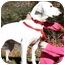 Photo 4 - Dalmatian/Labrador Retriever Mix Dog for adoption in Pawling, New York - PEBBLES