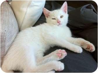 Domestic Shorthair Kitten for adoption in Montreal, Quebec - Semper