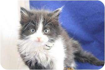 Domestic Longhair Kitten for adoption in Greer, South Carolina - Aggie