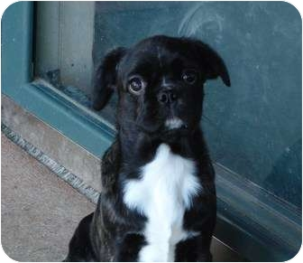 Pug/Boston Terrier Mix Puppy for adoption in Melbourne, Arkansas - Lucy Loo
