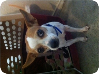 Chihuahua Mix Dog for adoption in White Settlement, Texas - Bella