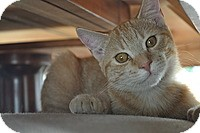 Domestic Shorthair Cat for adoption in Tampa, Florida - Sparkles
