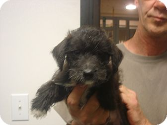 Toy Poodle/Schnauzer (Miniature) Mix Puppy for adoption in Greencastle, North Carolina - Orion