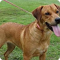 Adopt A Pet :: *Rosie - PENDING - Westport, CT