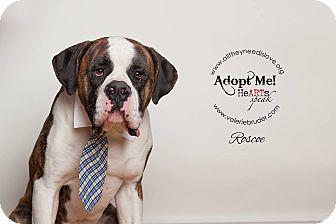 American Bulldog/St. Bernard Mix Dog for adoption in Medford, New Jersey - Roscoe