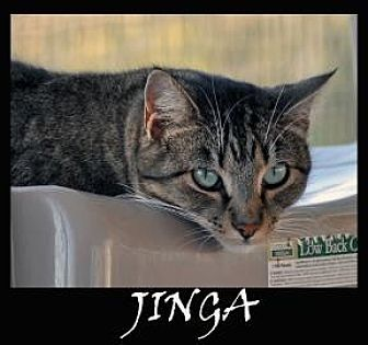 Domestic Shorthair Cat for adoption in Alamogordo, New Mexico - JINGA