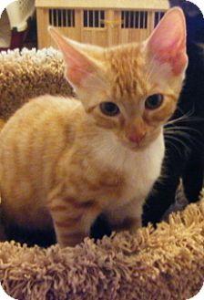 Domestic Shorthair Kitten for adoption in Green Cove Springs, Florida - Peanut