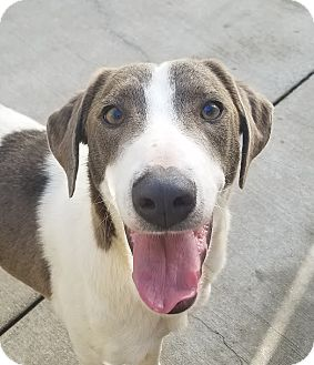 Beagle/Border Collie Mix Dog for adoption in Chicago, Illinois - Penny Lane*ADOPTED!