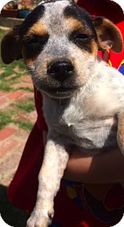 Dachshund Mix Puppy for adoption in Thousand Oaks, California - Princess