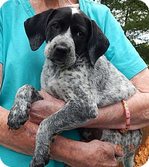 Shepherd (Unknown Type)/Blue Heeler Mix Puppy for adoption in SUSSEX, New Jersey - Rogue (8 lb)