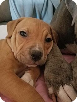 Pit Bull Terrier Puppy for adoption in PEORIA, Arizona - Pit pup 2