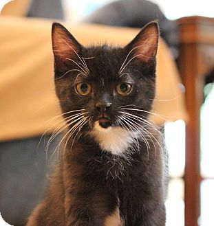 Domestic Shorthair Kitten for adoption in Carlisle, Pennsylvania - Fionna