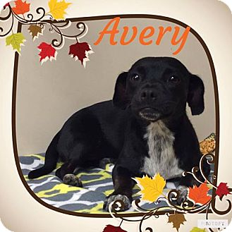 Dachshund Mix Dog for adoption in Snyder, Texas - Avery