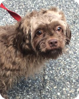 Shih Tzu/Poodle (Miniature) Mix Dog for adoption in Oak Ridge, New Jersey - Elmo