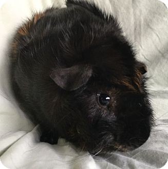 Guinea Pig for adoption in Highland, Indiana - Jax