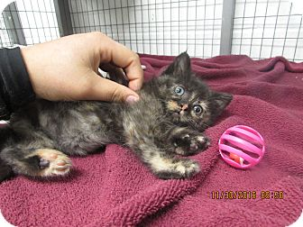 Domestic Shorthair Kitten for adoption in BLACKWELL, Oklahoma - Lizzy