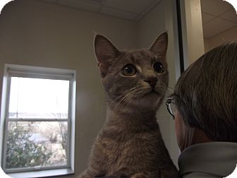 Domestic Shorthair Cat for adoption in Chambersburg, Pennsylvania - Tony