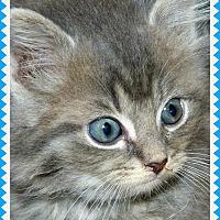 Adopt A Pet :: Gray Kittens! - Greenville, OH