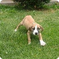 Adopt A Pet :: Clove - Fenton, MO