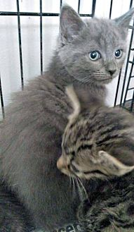 Domestic Shorthair Kitten for adoption in Jefferson, North Carolina - Sapphire