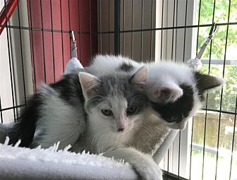Domestic Shorthair Kitten for adoption in Fairfax Station, Virginia - Haley