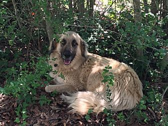Anatolian Shepherd Puppy for adoption in Holly Lake Ranch, Texas - Duke