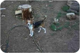 Beagle Mix Dog for adoption in Phoenix, Arizona - Rufus Ray