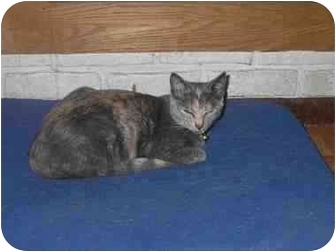 Domestic Shorthair Cat for adoption in Ortonville, Michigan - Meow Meow