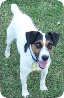 Jack Russell Terrier Dog for adoption in Phoenix, Arizona - ROSCOE