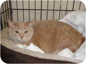 Domestic Shorthair Cat for adoption in Milwaukee, Wisconsin - Sally