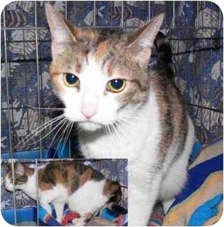 Domestic Shorthair Cat for adoption in Toledo, Ohio - Kelsey