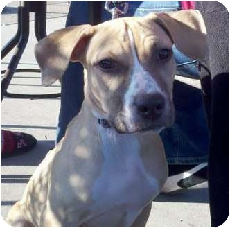Boxer/Labrador Retriever Mix Puppy for adoption in Scottsdale, Arizona - Bella