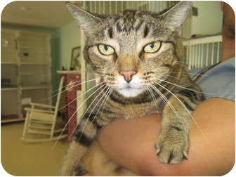 Domestic Shorthair Cat for adoption in Bradenton, Florida - Tigress