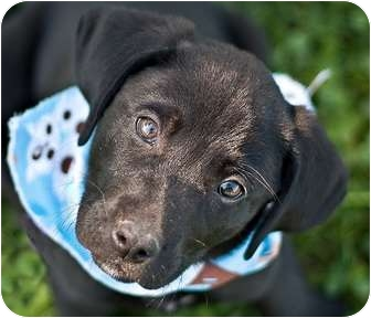 Labrador Retriever Mix Puppy for adoption in Portsmouth, Rhode Island - Snickers
