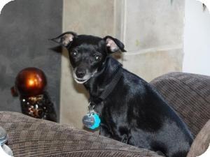 Chihuahua/Dachshund Mix Dog for adoption in Shawnee Mission, Kansas - Baby Doll Sabrina