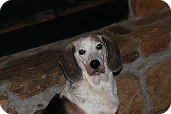 Beagle Dog for adoption in Russellville, Kentucky - Sabrina