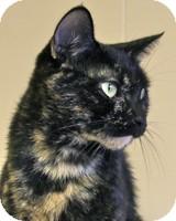 Domestic Shorthair Cat for adoption in Atlanta, Georgia - Xena