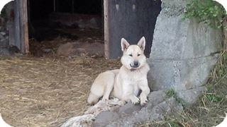German Shepherd Dog Mix Dog for adoption in Treton, Ontario - lacey