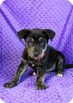 Rottweiler Mix Puppy for adoption in Westminster, Colorado - Panko