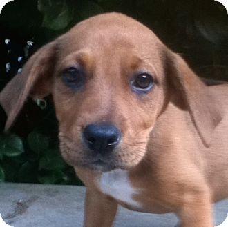 Labrador Retriever Mix Puppy for adoption in Westport, Connecticut - Jan