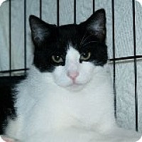 Domestic Shorthair Cat for adoption in Middletown, Connecticut - Billy