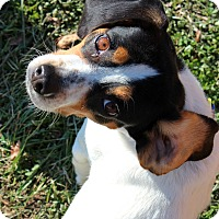 Adopt A Pet :: Odie - Raleigh, NC