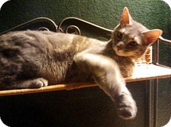 Domestic Mediumhair Cat for adoption in Chandler, Arizona - Dexter