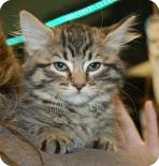 Domestic Shorthair Kitten for adoption in Brooklyn, New York - Innie