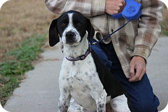 Springer Spaniel Mix Dog for adoption in Hershey, Pennsylvania - Jack