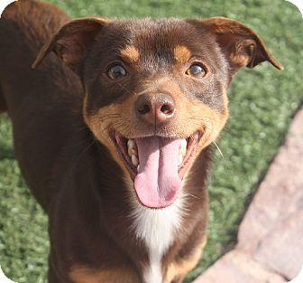 Dachshund/Terrier (Unknown Type, Small) Mix Dog for adoption in Henderson, Nevada - Dexter