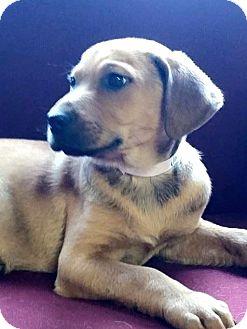 Labrador Retriever/Labrador Retriever Mix Puppy for adoption in Naugatuck, Connecticut - Kaleb