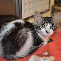 Domestic Shorthair Cat for adoption in Houston, Texas - Peace