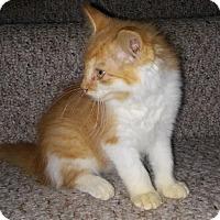 Adopt A Pet :: Kitten - Chesterfield, VA
